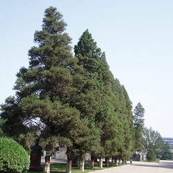 Juniperus chinensis Chinese Juniper seed for sale