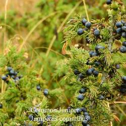 Juniperus communis Common Juniper seed for sale