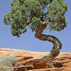 Juniperus osteosperma Utah Juniper seed for sale