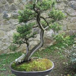 Juniperus rigida Needle Juniper, Temple Juniper, Temple Juniper seed for sale