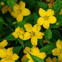 Kerria japonica Japanese Kerria, Japanese Rose seed for sale