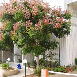 Koelreuteria bipinnata Golden Rain Tree, Chinese Flame Tree seed for sale
