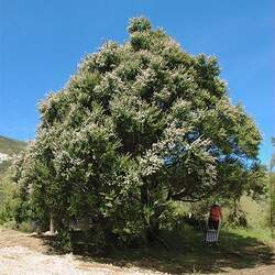 Kunzea ericoides Burgan, Kanuka, White Tea-tree seed for sale