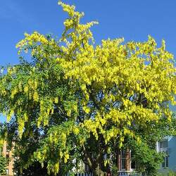 Laburnum anagyroides Golden Chain Tree, Laburnum, Golden Rain Tree seed for sale