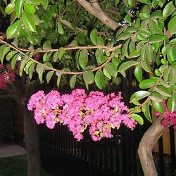 Lagerstroemia indica Crape Myrtle, Crapemyrtle seed for sale