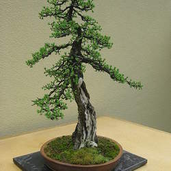 Larix laricina Tamarack, Eastern Larch, American Larch seed for sale