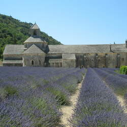 Lavandula angustifolia angustifolia English Lavender, Common Lavender, True Lavender seed for sale