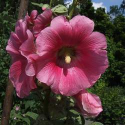 Lavatera thuringiaca Tree Mallow, Tree Lavatera, Gay Mallow seed for sale