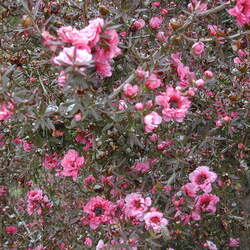 Leptospermum scoparium Broom Teatree, Tea Tree seed for sale