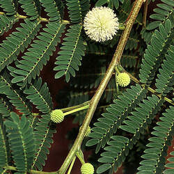 Leucaena leucocephala White Leadtree, White Popinac, Jumbay, Leadtree, Haole Koa seed for sale