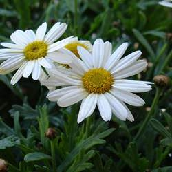 Leucanthemum maximum Max Chrysanthemum seed for sale