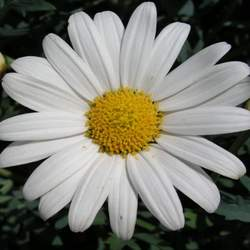 Leucanthemum vulgare Marguerite, Daisy, Moon Daisy, Dog Daisy, Ox-eye Daisy seed for sale