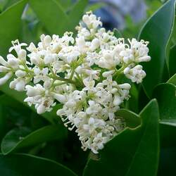 Ligustrum japonicum Japanese Privet seed for sale
