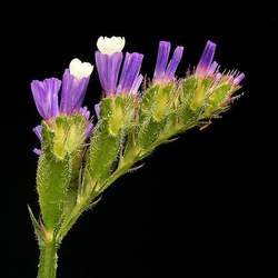 Limonium sinuatum Statice, Wavyleaf Sea Lavender seed for sale