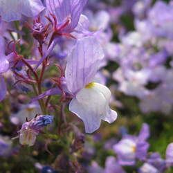 Linaria maroccana   Northern Lights Moroccan Toadflax seed for sale