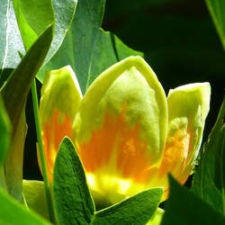 Liriodendron tulipifera     winged Tuliptree, Tulip Poplar, Yellow Poplar, Whitewood, American Tulip Tree, Tulip Magnolia seed for sale