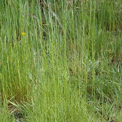 Lolium perenne   Amazing GS Perennial Ryegrass, Amazing GS Perennial Ryegrass seed for sale