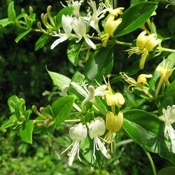 Lonicera japonica Gold-and-Silver Flower, Japanese Honeysuckle seed for sale
