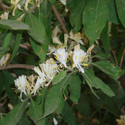 Lonicera maackii Maackii Amur Honeysuckle, Amur Honeysuckle seed for sale