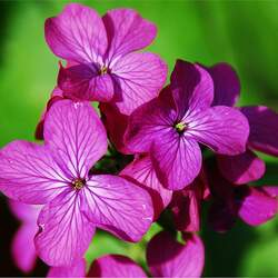 Lunaria annua Annual Honesty, Money Plant seed for sale