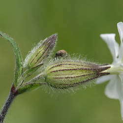 Lychnis alba White Cockle, White Campion, Bladder Campion, Evening Lychnis seed for sale