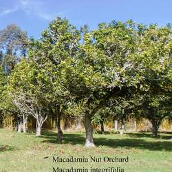 Macadamia integrifolia Macadamia Nut seed for sale