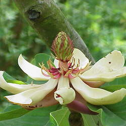 Magnolia hypoleuca Japanese Big-leaved Magnolia seed for sale