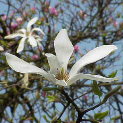 Magnolia kobus     clean seed Kobus Magnolia, Northern Jap. Magnolia, Northern Japanese Magnolia seed for sale