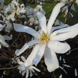 Magnolia stellata Star Magnolia seed for sale