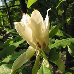 Magnolia tripetala Umbrella Magnolia, Umbrella-tree seed for sale