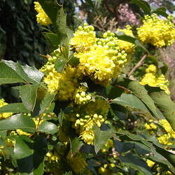Mahonia nervosa Dwarf Oregon Grape, Cascade Barberry seed for sale