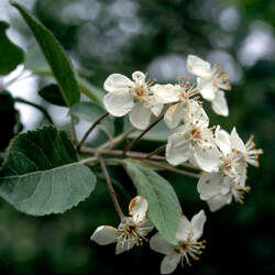 Malus fusca Oregon Crab Apple seed for sale