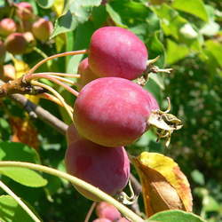 Malus prunifolia Plum-leaved Apple, Plumleaf Crab Apple seed for sale