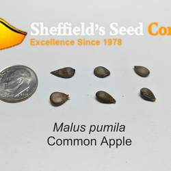 Malus pumila Paradise Apple, Common Apple seed for sale
