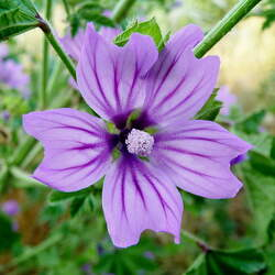 Malva sylvestris   Mauritiana High Mallow seed for sale