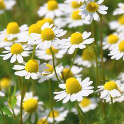 Matricaria recutita German Chamomile, Mayweed, Scented Mayweed, German Camomile seed for sale