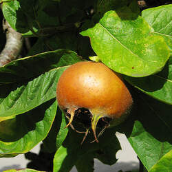 Mespilus germanica Showy Mespilus, Medlar seed for sale
