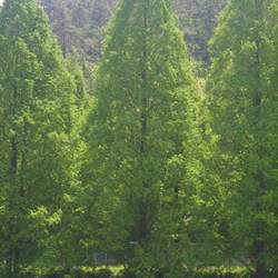 Metasequoia glyptostroboides Dawn Redwood seed for sale