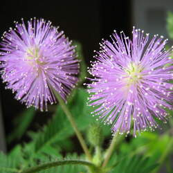 Mimosa pudica Sensitive Plant, Shameplant, Shy Plant, Humble Plant, Sleeping Grass, Touch-Me-Not, Lajjalu, Bashful Mimosa seed for sale