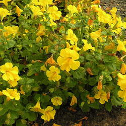 Mimulus guttatus Seep Monkeyflower, Yellow Monkeyflower seed for sale