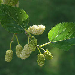 Morus alba White Mulberry seed for sale
