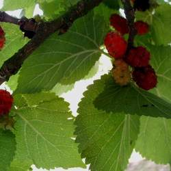 Morus nigra Black Mulberry seed for sale