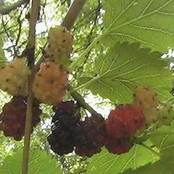 Morus rubra Red Mulberry, American Mulberry seed for sale