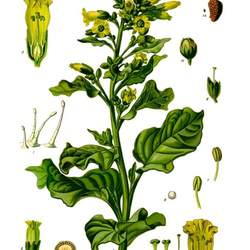 Nicotiana rustica Wild Tobacco , Aztec Tobacco seed for sale