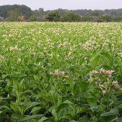 Nicotiana tabacum  KY 17 Cultivated Tobacco, KY 17 Tobacco seed for sale