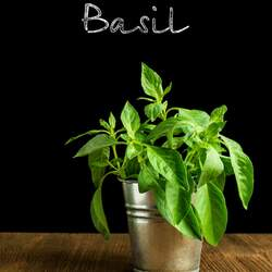 Ocimum basilicum Sweet Basil seed for sale
