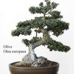 Olea europaea Olive, Common Olive, Edible Olive seed for sale