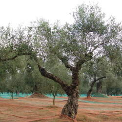 Olea europaea   CANINO Olive, Common Olive, Edible Olive, CANINO Olive seed for sale