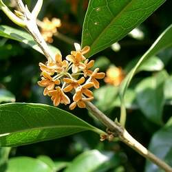 Osmanthus fragrans Fragrant Olive, Sweet Osmanthus seed for sale