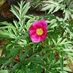 Paeonia anomala Russian Fernleaf Peony seed for sale